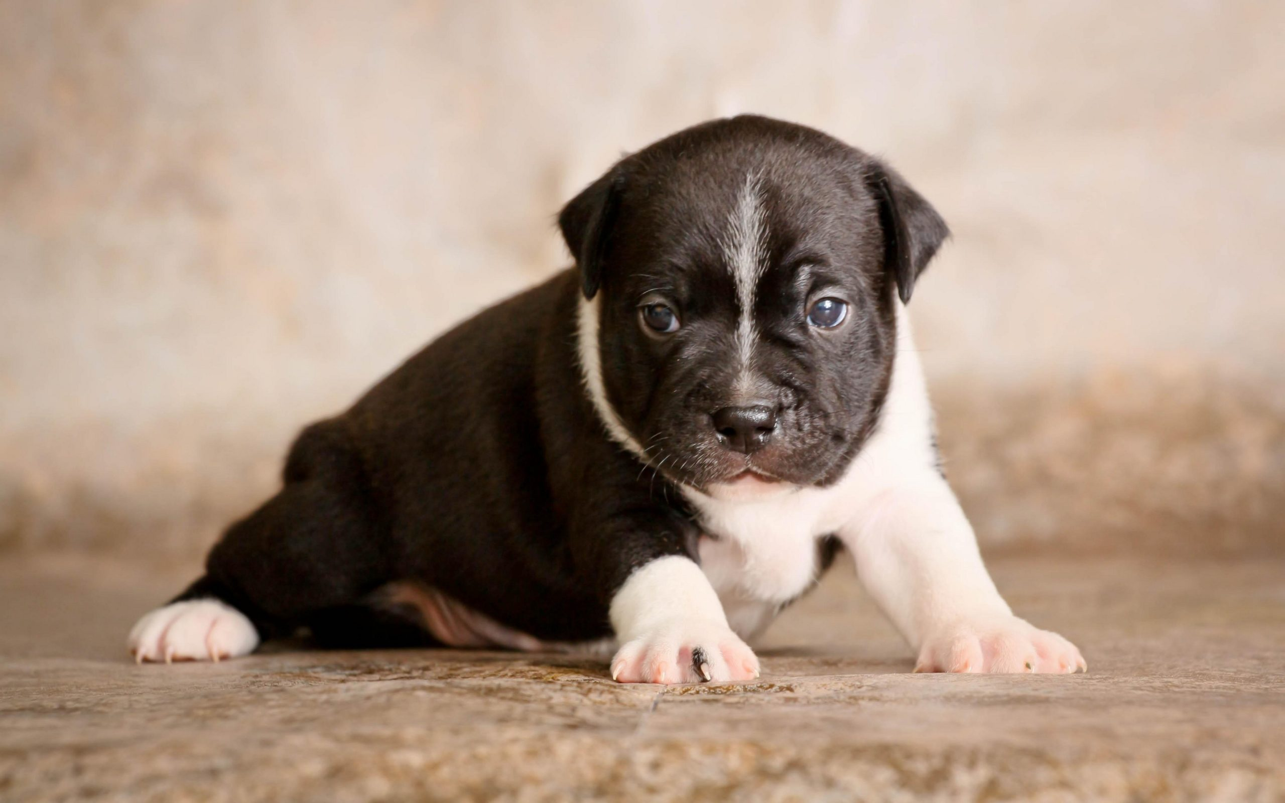 staffordshire bull terrier puppy dog cute baby x