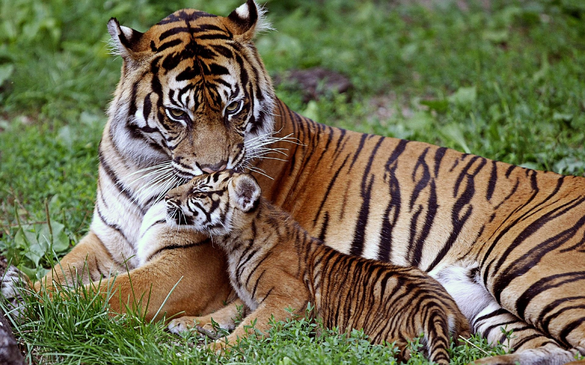 tiger cub down family care baby big cat predator x