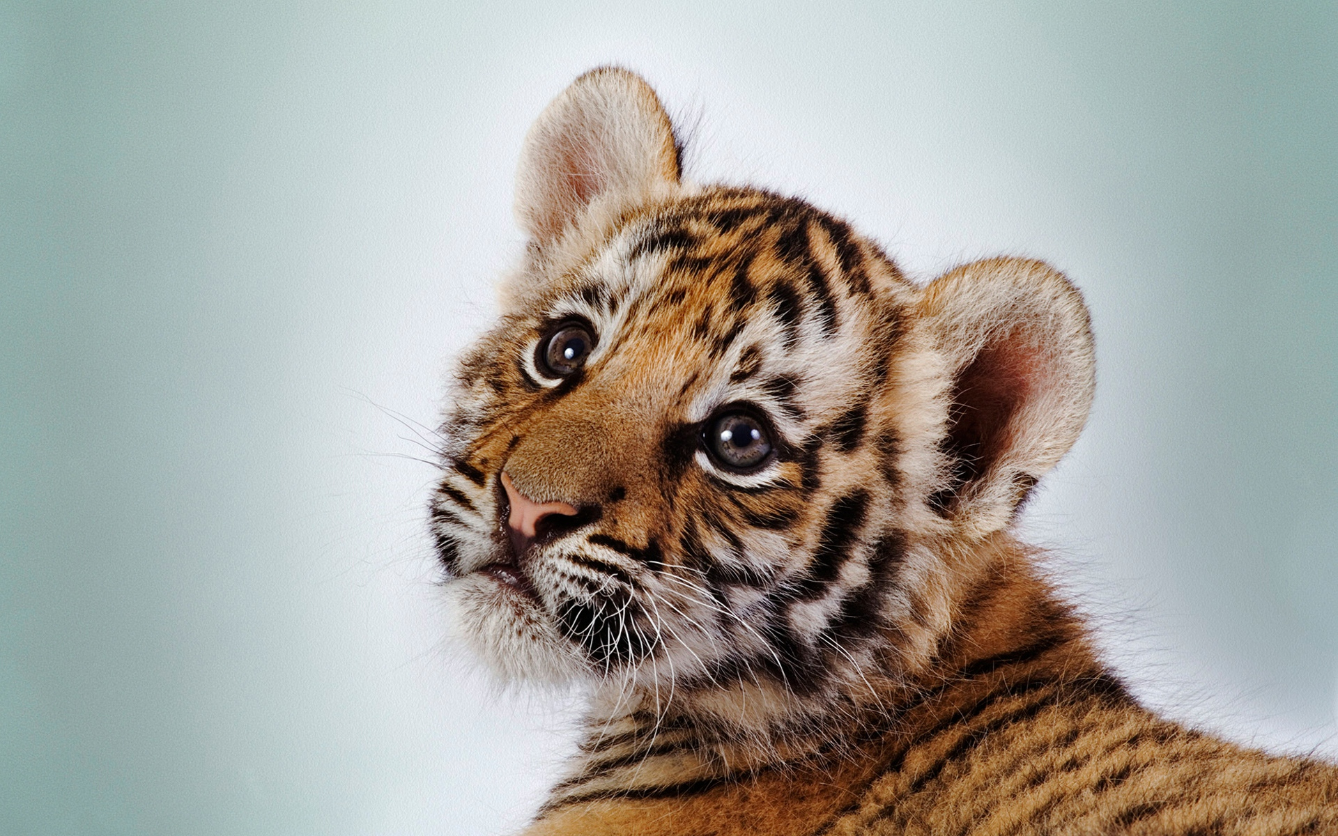 tiger face cub baby striped x