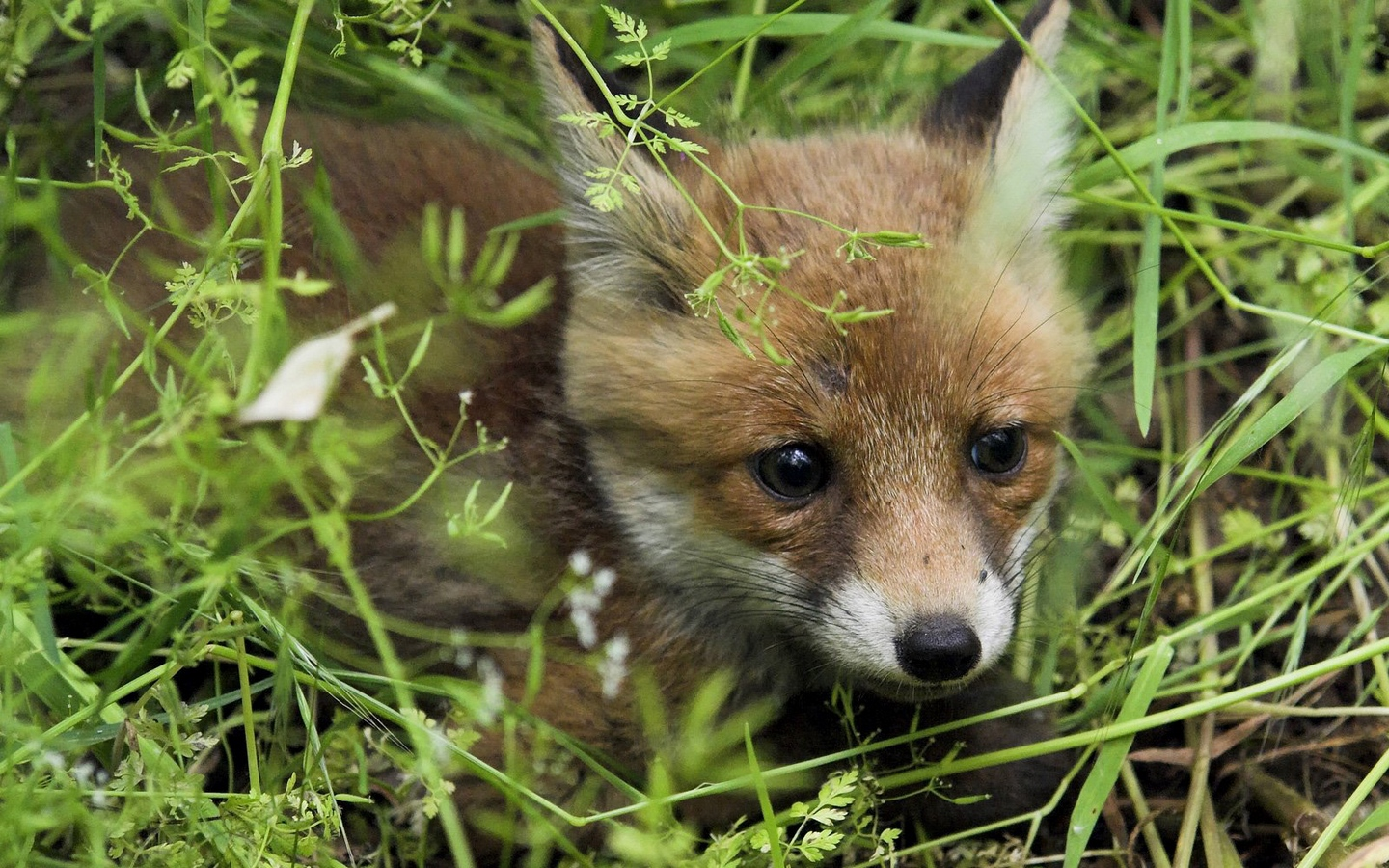 young fox fox grass baby x