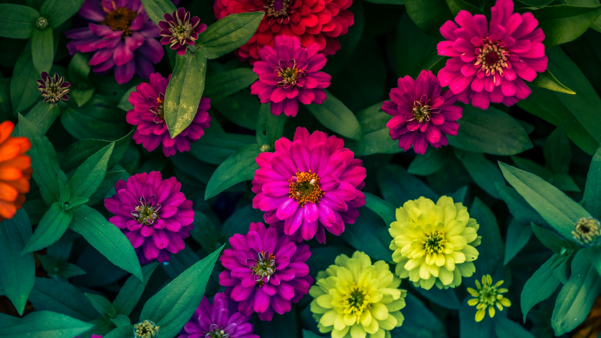 zinnias flowerbed flowers bright x