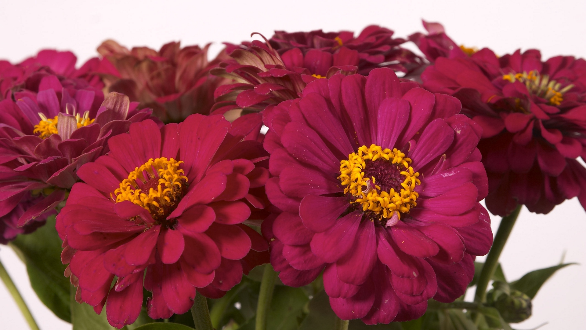 zinnias flowers bouquet close up x