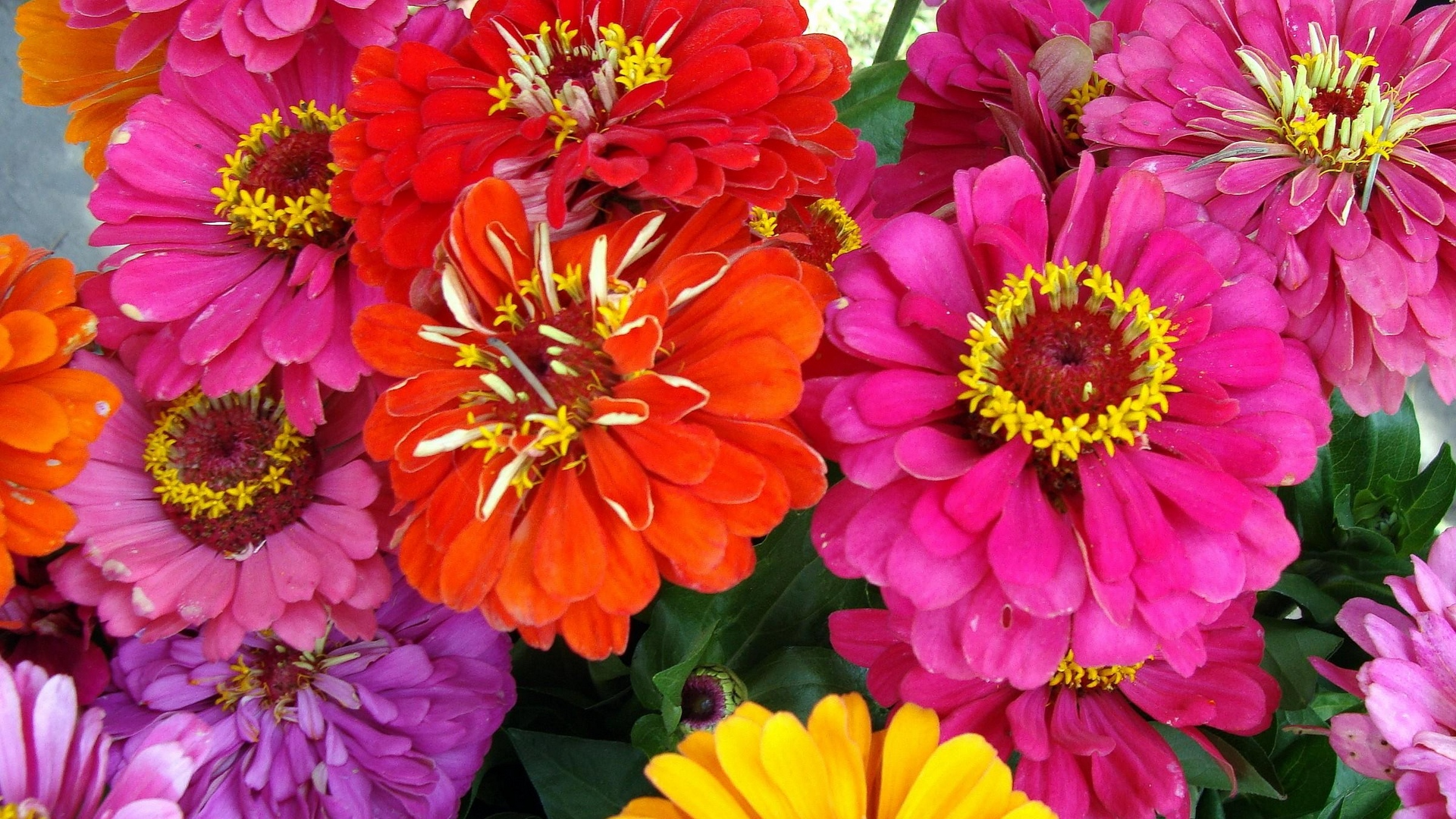 zinnias flowers bright close up x