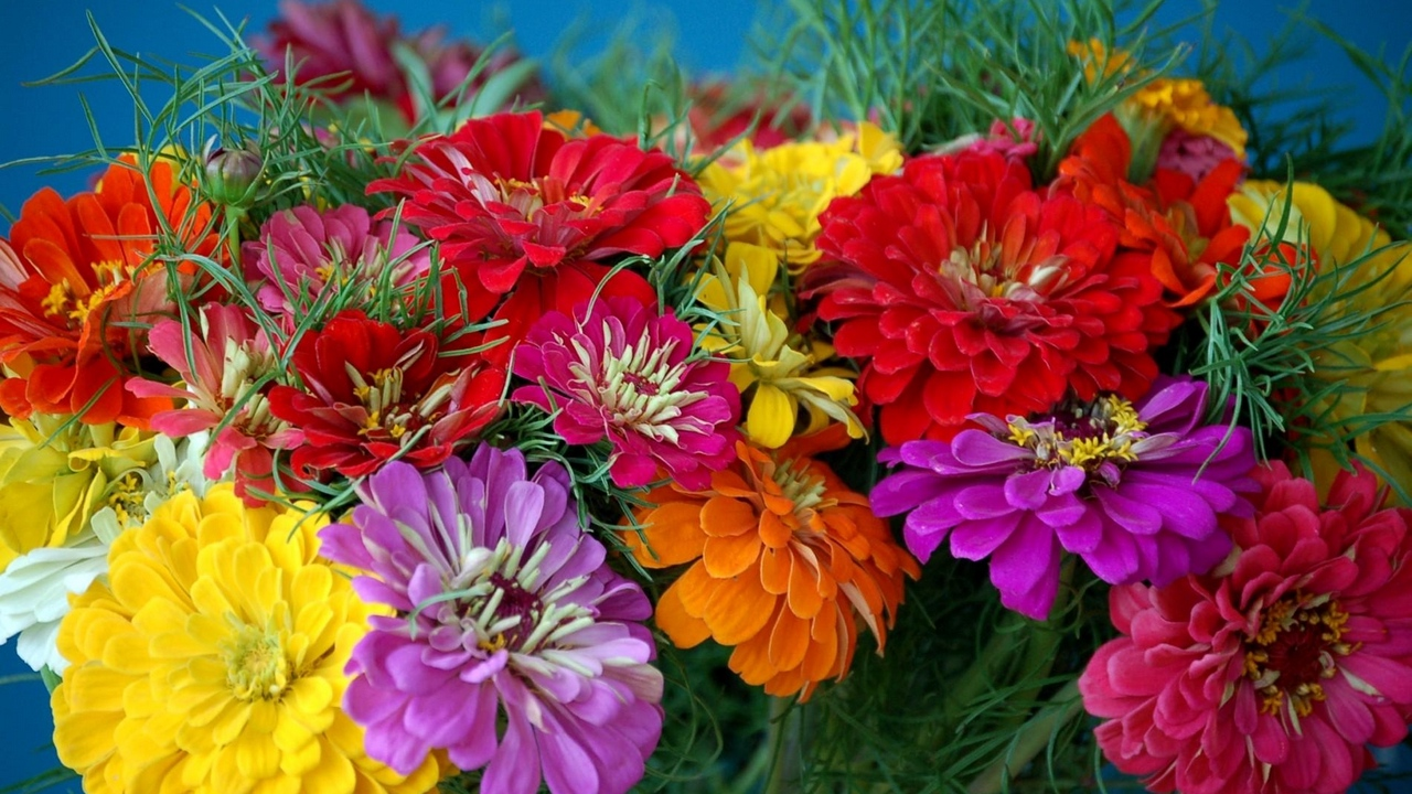 zinnias flowers bright colorful flower x
