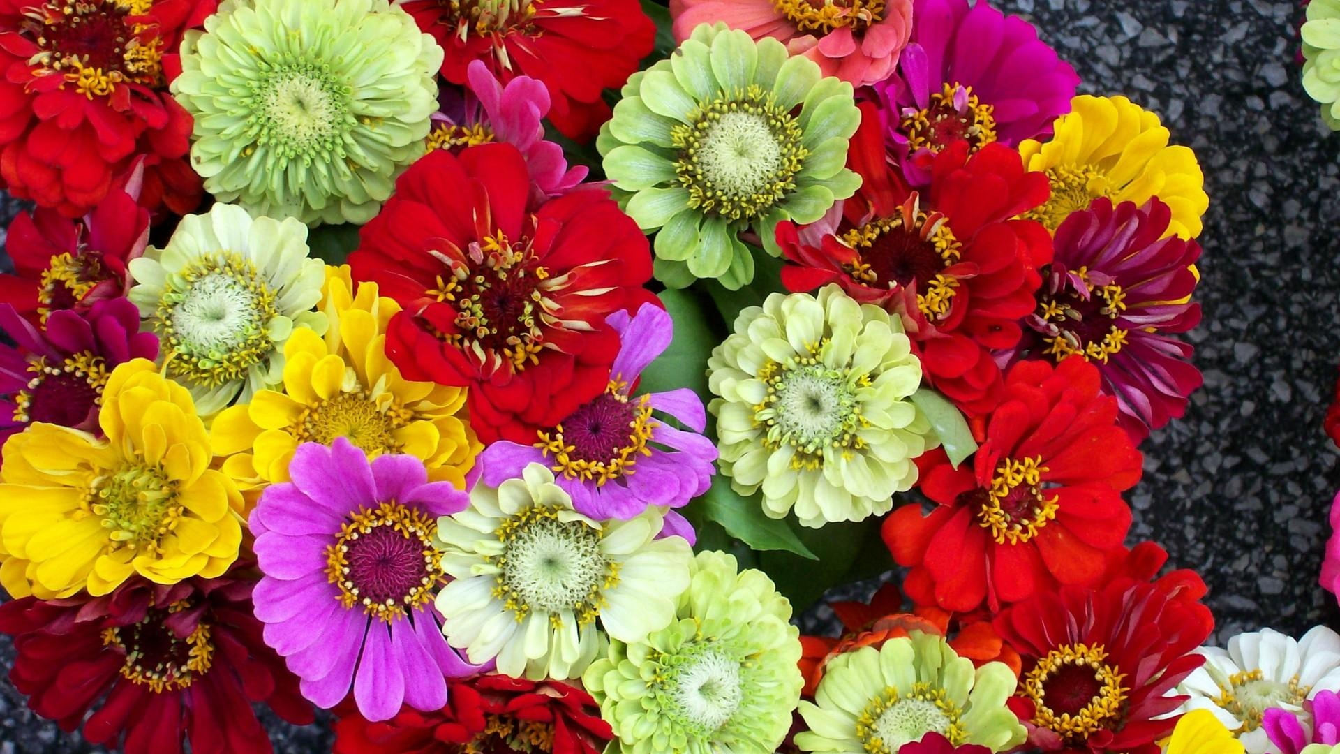 zinnias flowers bright different colorful x