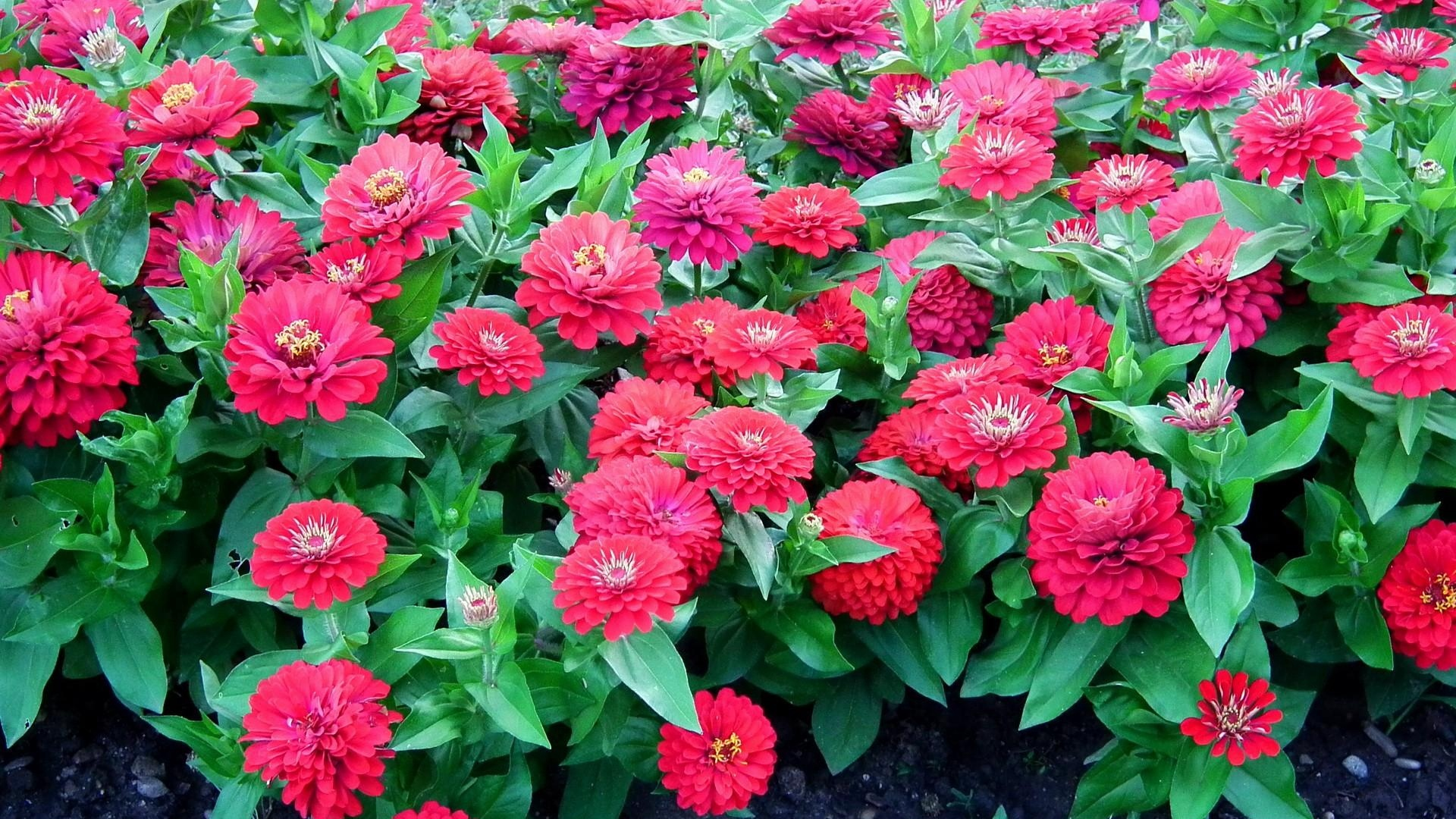 zinnias flowers colorful flowerbed green x