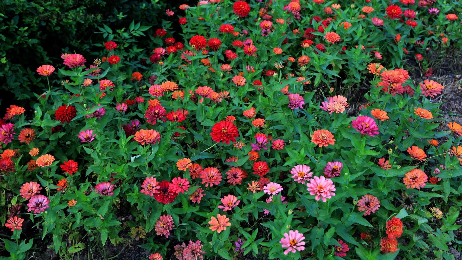 zinnias flowers colorful flowerbed greens x
