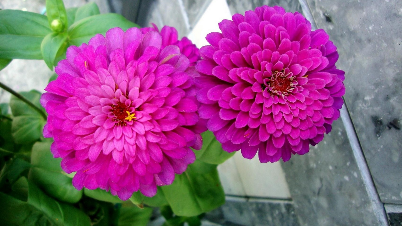 zinnias flowers pair close up flowerbed green x
