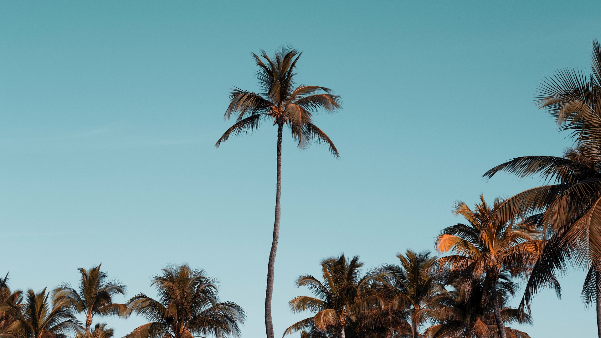 palm trees trees crowns