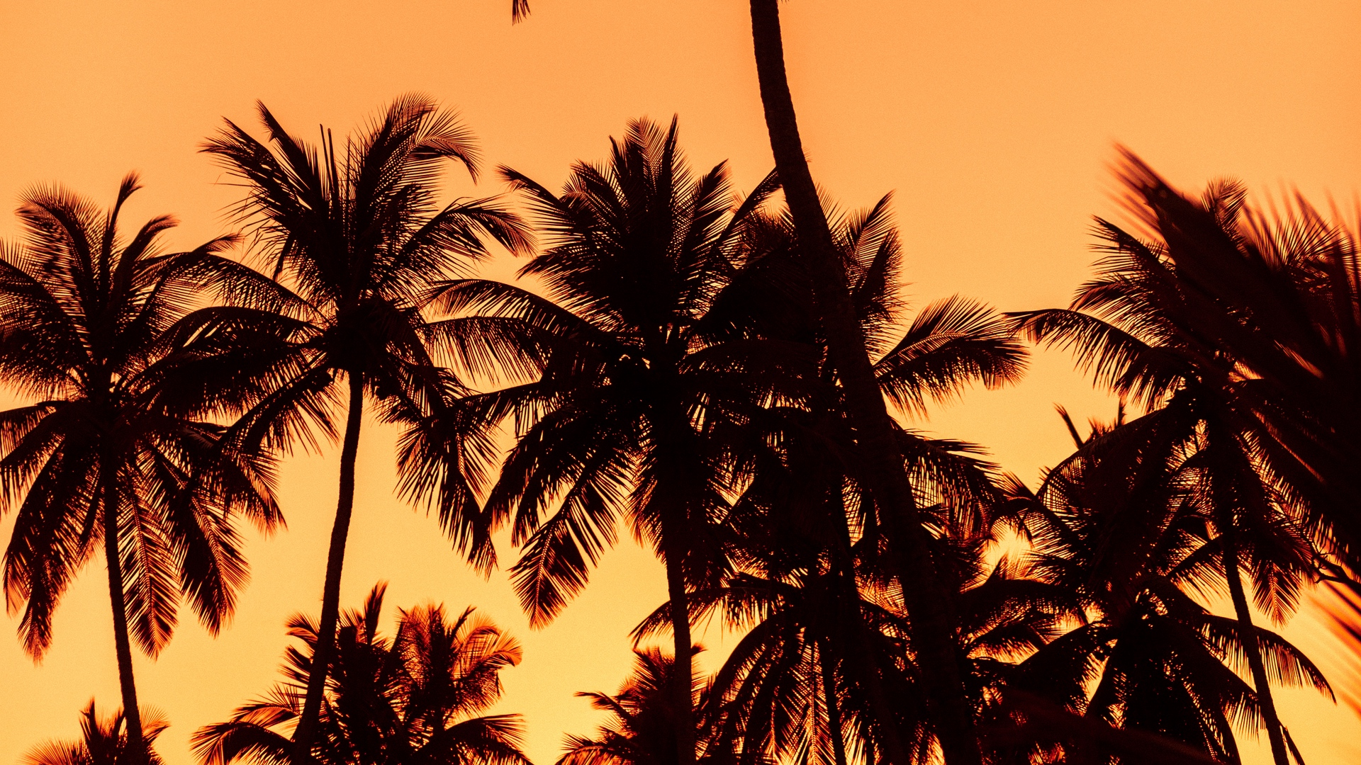 palms sunset trees