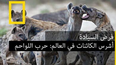 أشرس الكائنات في العالم: حرب اللواحم - بدون موسيقى | The fiercest animals in the world: carnivore war | - No Music