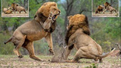 معركة الأسد ملك الغابه عالم الحيوانات المفترسة - بدون موسيقى