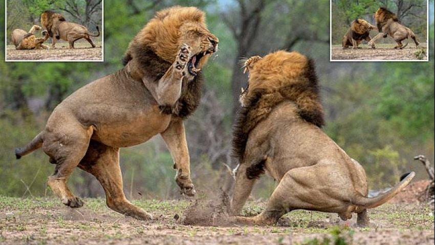معركة الأسد ملك الغابه عالم الحيوانات المفترسة (1) – بدون موسيقى