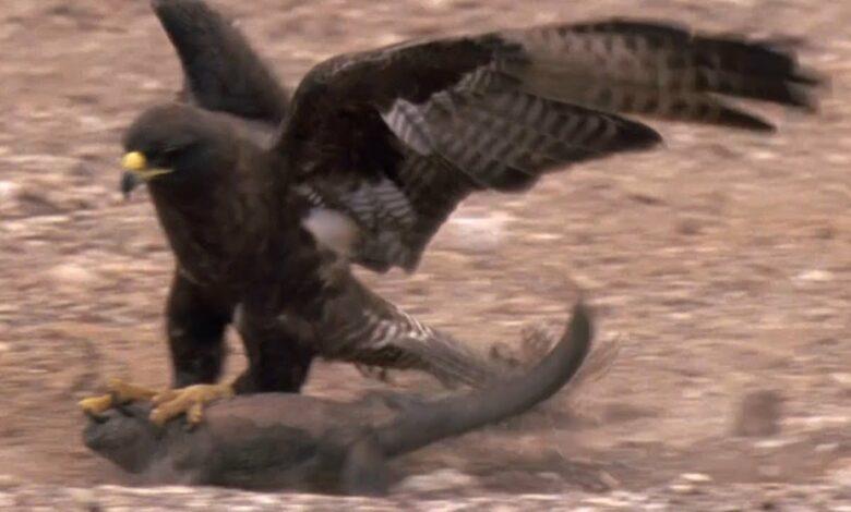 أفضل مطاردات الحيوانات البرية | أعلى 5 | بي بي سي الأرض بدون موسيقى | Best Wild Animal Chases | Top 5 | BBC Earth No Music (1 فيديو)