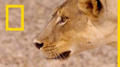 حيوانات أفريقيا المفترسة: توأم الأسود | ناشونال جيوغرافيك أبوظبي بدون موسيقى | African Predators: The Black Twin | National Geographic Abu Dhabi No Music