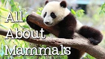 كل شيء عن الثدييات للأطفال: القطط والدببة والفيلة والباندا والمزيد - FreeSchool بدون موسيقى | All About Mammals for Children: Cats, Bears, Elephants, Pandas and More - FreeSchool No Music (1 فيديو)