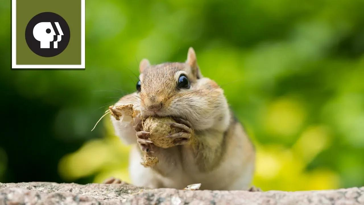 دليل نجاح السنجاب بدون موسيقى | A Squirrel's Guide to Success No Music (5 فيديو)