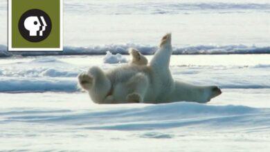 سنو بيرز بدون موسيقى | Snow Bears No Music (4 فيديو)