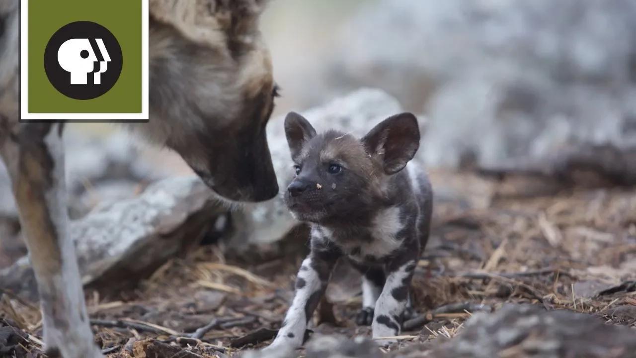 الكلاب في أرض الأسود بدون موسيقى | Dogs in the Land of Lions No Music (5 فيديو)